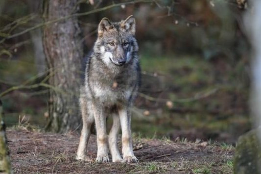 Toter Rehbock entdeckt: Wolf als Verursacher möglich