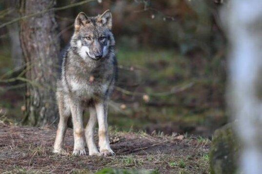 Offenbar Wolfsriss nahe Wohnhaus - totes Reh gefunden