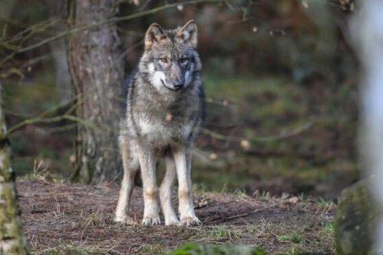Debatte um Wölfe in Sachsen: Linke sehen keinen Anlass für Hysterie