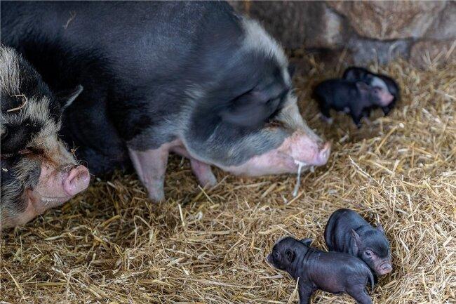 Die Hängebauchschweine mit einigen ihrer kleinsten Ferkel: Der zweite Wurf erblickte am Sonntag das Licht der Welt. Die älteren Halbgeschwister wurden vor neun Wochen geboren, der größte Teil von ihnen ist bereits abgegeben worden.