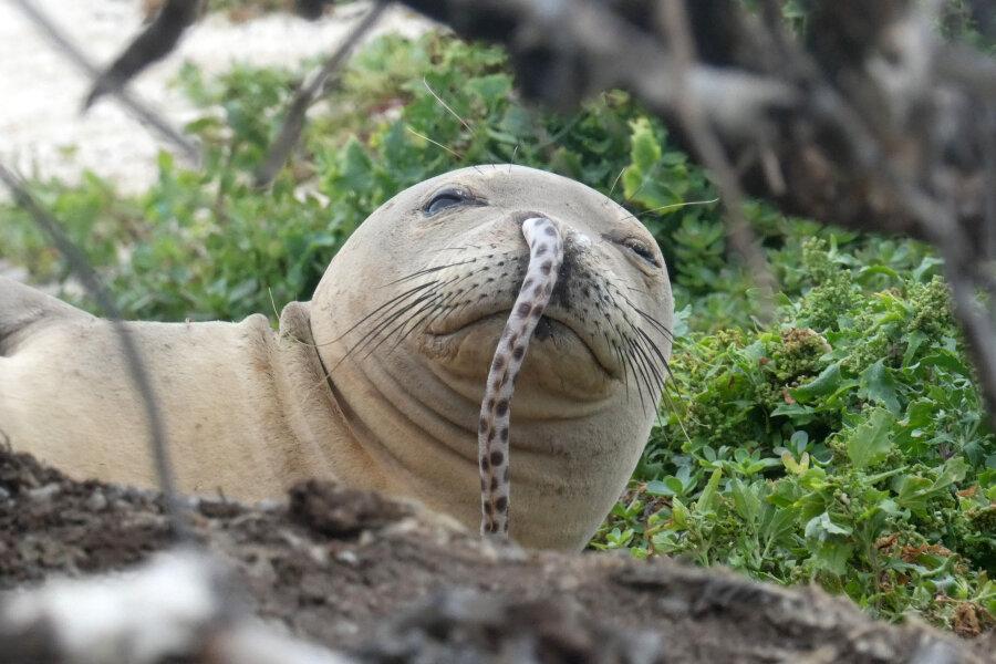 Eine jugendliche hawaiianische Mönchsrobbe mit einem Aal in ihrer Nase liegt am Strand der French Frigate Shoals in Nordwesten der Hawaii-Inseln. Ein Aal in der Nase einer Hawaii-Mönchsrobbe - dieses kuriose Phänomen gibt der US-amerikanischen Ozean- und Klimabehörde NOAA Rätsel auf.