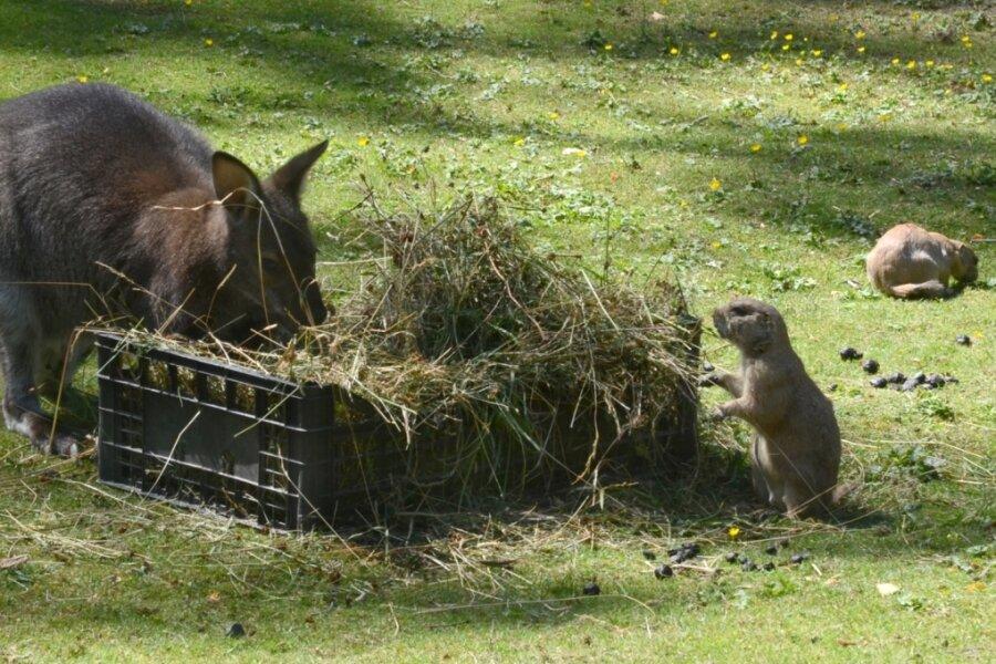 Präriehunde zu Besuch beim Känguru