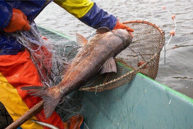 Harte Arbeit: Die im Netz festhängenden, glitschigen, wild zappelnden Silberkarpfen werden mit dem Kescher ins Boot geholt. Sie erhalten umgehend einen Schlag auf den Kopf und werden per Herzstich getötet.
