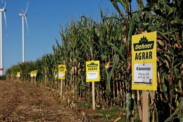 Auf dem Versuchsfeld bei Gersdorf sind Unterschiede zwischen den einzelnen Maissorten für den Laien kaum zu erkennen.