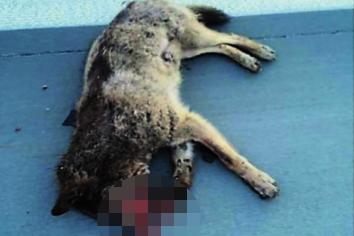 Dieses Foto, das bei Facebook veröffentlicht wurde, soll am Donnerstagmorgen auf der A 72 aufgenommen worden sein. Es soll einen toten Wolf zeigen, sagen Nutzer der Seite.