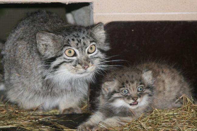 Die Pallaskatzen haben seit 30. Mai Nachwuchs.