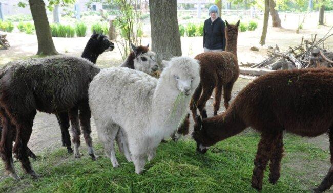 Alpakas sind im Amerika-Tierpark schon seit Jahren zu sehen - genauso wie Nandus. Wenn es nach dem Förderverein der Einrichtung geht, sollen beide Tierarten künftig in einem ausladenden Streichelgehege namens Inkaland präsentiert werden. Doch ein Baustart ist nicht in Sicht.