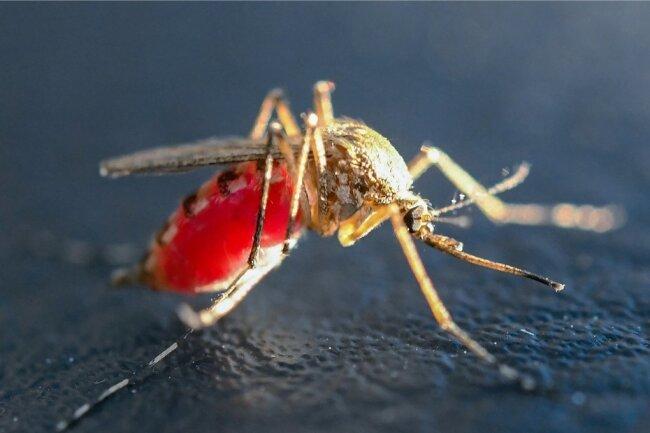Eine mit Blut vollgesaugte Mücke. Mit Hilfe eines spezialisierten Mundwerkzeuges, des stechend-saugenden Rüssels, können weibliche Stechmücken die Haut ihrer Wirte durchstechen und Blut saugen. Die mit der Blutmahlzeit aufgenommenen Proteine (besonders aus Hämoglobin und Albumin) und Eisen (aus Porphyrin-Verbindungen wie Häme) sind für die Produktion der Eier essenziell. Ansonsten ernähren sich weibliche Stechmücken wie auch die Männchen von Nektar und anderen zuckerhaltigen Pflanzensäften.