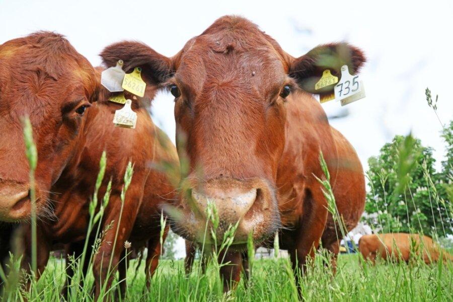 Die Roten Angus-Rinder sind so entspannt, dass sie sogar zum Fototermin angetrabt kommen, wenn der Bauer ruft.