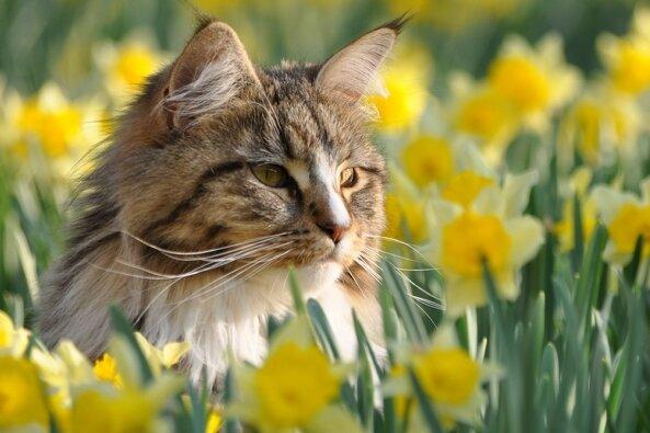 Viele Frühblüher sind giftig für Katzen.
