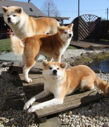 Akita Inu ist eine japanische Hunderasse. Die Tiere von Heike Hübner aus Niederwiesa heißen Takeo, Imoto und Kazumi.
