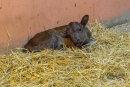 Im Auer Zoo der Minis ist am Samstag Dahomey-Rind Kauri zur Welt gekommen.