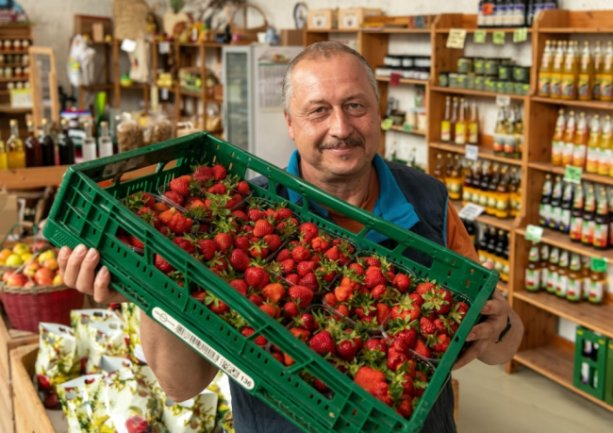 Obstgutchef Heiko Hübler mit frisch geernteten Erdbeeren im Hofladen in Döhlen. Sein Tipp für alle Selbstpflücker: die Beeren mit Stiel und Kelch per Fingernagel abknicken. Dann sollten sie kühl gelagert werden.