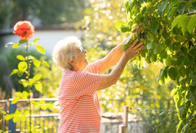 Tief hängende Obstgehölze wie diese Kiwibeere erleichtern das Ernten. Gisela Stock freut sich über die süßen Früchte.