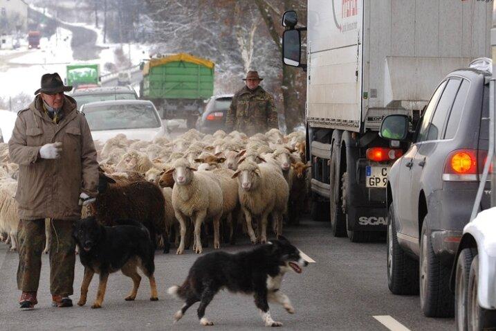 """<p class=""""artikelinhalt"""">Steffen Schmidt läuft sonst nur im Ausnahmefall mit seiner Herde auf der Straße, wie hier 2010 auf dem Weg ins Winterquartier. Am Montag wurden die Schafe offenbar mutwillig von der Weide getrieben. </p>"""