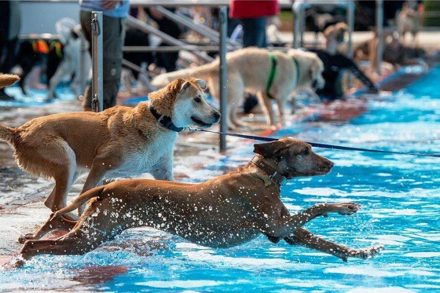 Hundeschwimmen: Vierbeiner erobern das Peniger Freibad