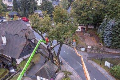 Im September 2018 musste die mehrere hundert Jahre alte morsche Hammerlinde von Frohnau weichen.