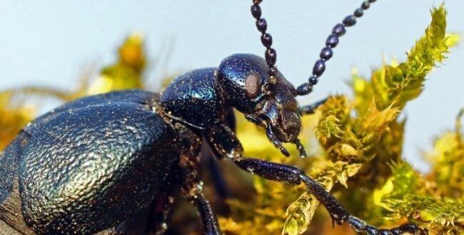 Der Ölkäfer steht auf der Roten Liste gefährdeter Arten. Das Weibchen kann bis zu 4,5 Zentimeter groß werden und bis zu 10.000 Eier in sich tragen. Aber nur wenige erleben ihre Verwandlung zum Käfer.