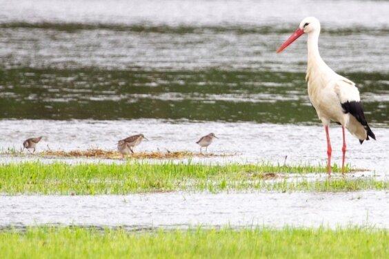 Besonders nach Überschwemmungen, wie zuletzt auch auf den Elsterwiesen bei Kürbitz, finden die Störche dort Fressbares.