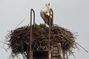 Einer der Grünaer Störche am Dienstag im Nest.
