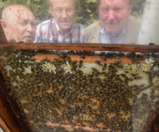 Im Botanischen Garten an der Leipziger Straße können Besucher neben vielen anderen Tieren auch Bienen bei ihrer Arbeit beobachten. Bienenzüchter Jörg Hausigk sowie die Besucher Hans Sedlmayer und Günter Otto (von links) schauen sich ieine Schaubienenbeute an, in der ein Volk beobachtet werden kann.