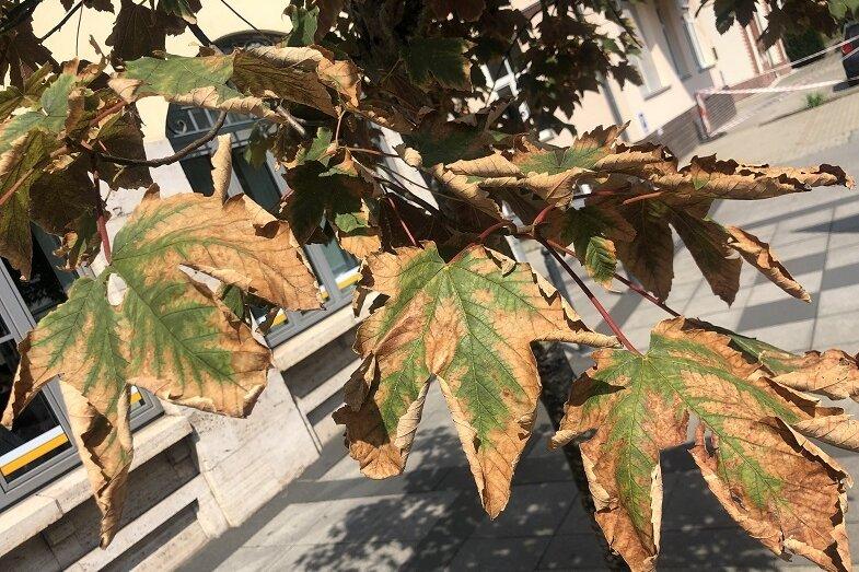 Das Garten- und Friedhofsamt und das Umweltbüro bitten die Zwickauer um Mithilfe beim Bewässern der Jungbäumeim Stadtgebiet.