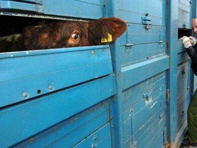 Ein Rind während einer Polizeikontrolle eines Tiertransporters.