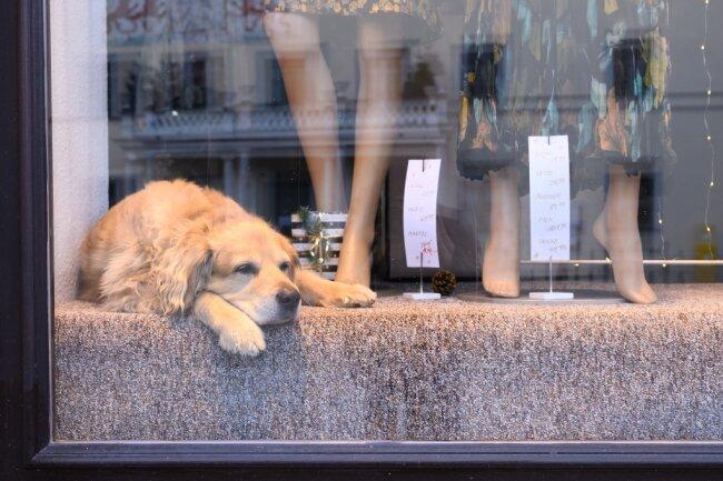 Ein Golden Retriever Mischling liegt im Schaufenster eines geschlossenen Modegeschäfts im sächsischen Pirna.