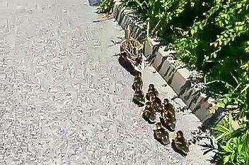 Mehrere Entenküken mussten am Samstag in Stollberg aus einer misslichen Lage gerettet werden.