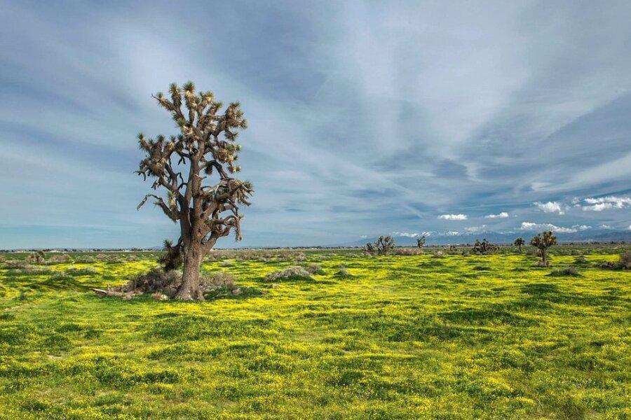 Ein Joshua-Tree in der Mojave-Wüste in den USA. Was in Landschaften wie diesen zu hören ist, ist oftmals vor allem der Wind.