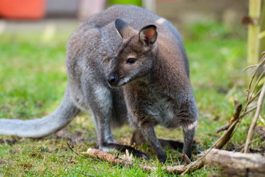 Das Känguru Viggo sitzt im Garten. Das Veterinäramt Celle hat einer niedersächsischen Familie das Tier weggenommen.