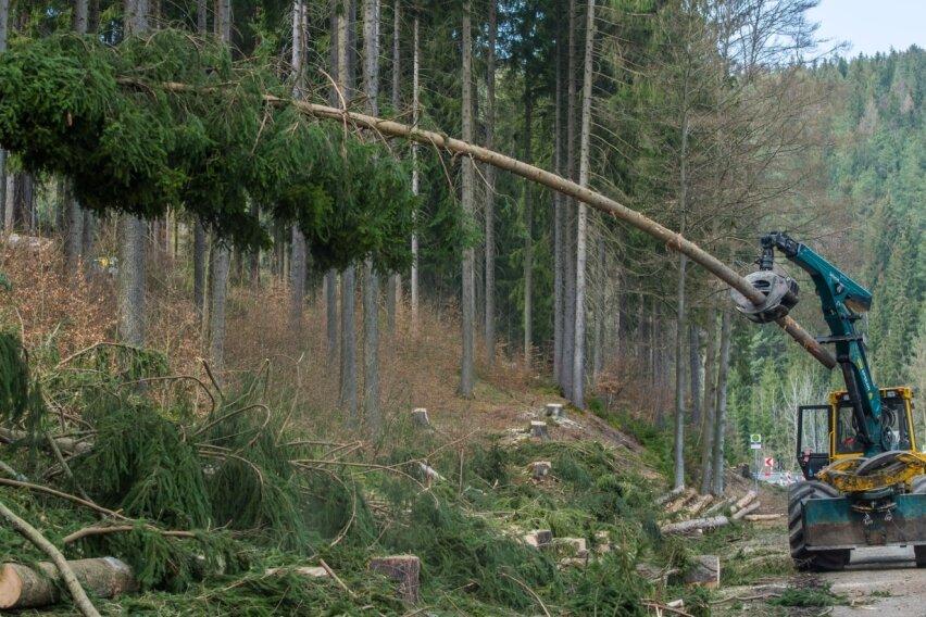 An gesperrter Straße werden Bäume gefällt