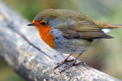 Woher sein Name kommt, ist beim Rotkehlchen keine Frage. Mittlerweile überwintert der Vogel im Vogtland.