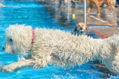 So wie Goldendoodle-Hündin Leonie fühlen sich Hunde meist pudelwohl im Wasser. In Lugau findet darum nach dem Abschluss der Badesaison für die Zweibeiner wieder ein Hundebaden statt.