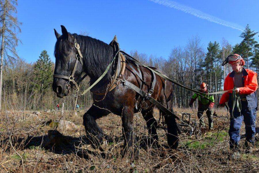 Aufforstung auf ökologische Art: Forstunternehmer Jürgen Richter und Gespannführer Olaf Brückner (vorn) sind mit Pferd Baron und Pflug im Rossauer Wald unterwegs, um den Boden aufzulockern.