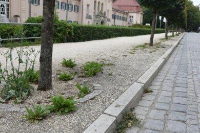 Wo auf Gift bewusst verzichtet wird - wie hier in Bad Elster - , sprießt auch ungeliebtes Grün. Das Bild entstand Mitte August. Mittlerweile wurde an dieser Stelle der Bewuchs entfernt.