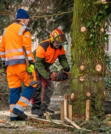 Mitarbeiter des städtischen Bauhofes fällten die mehr als 17 Meter hohe Nordmanntanne auf dem Marienberger Markt. Der Weihnachtsbaum wog rund 4,3 Tonnen.