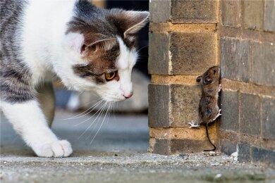 Katzen sind nicht zum Vegetarier geboren. Selbst eiweißreiche pflanzliche Kost hält sie nicht davon ab, ihren Speiseplan durch selbst Erlegtes zu ergänzen, wie Wissenschaftler herausgefunden haben.