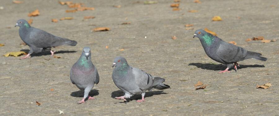 """<p class=""""artikelinhalt"""">Seit Jahren gibt es Beschwerden über die Taubenplage wie hier an der Straße der Nationen. </p>"""