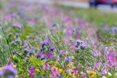 """Regional sind Blühstreifen in Deutschland recht unterschiedlich verteilt. Während Bauern in Sachsen vielfach andere durch die EU förderfähige Methoden des """"Greening"""" bevorzugen, gab es etwa 2019 es an Feldern und Äckern in Nordrhein-Westfalen angelegte Blühstreifen in einer Gesamtlänge von fast 7000 Kilometern, wie damals das Düsseldorfer Umweltministerium berichtete. Das entsprach mehr als 6000 Hektar Blüh- und Schonstreifen."""