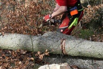 34 Bäume fällen die Forstarbeiter derzeit, die meisten sind Buchen.