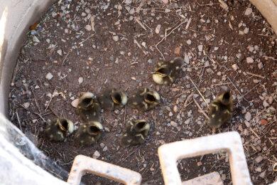 Acht Entenküken waren am Mittwoch in Hohenstein-Ernstthal in einem Schacht gefangen.