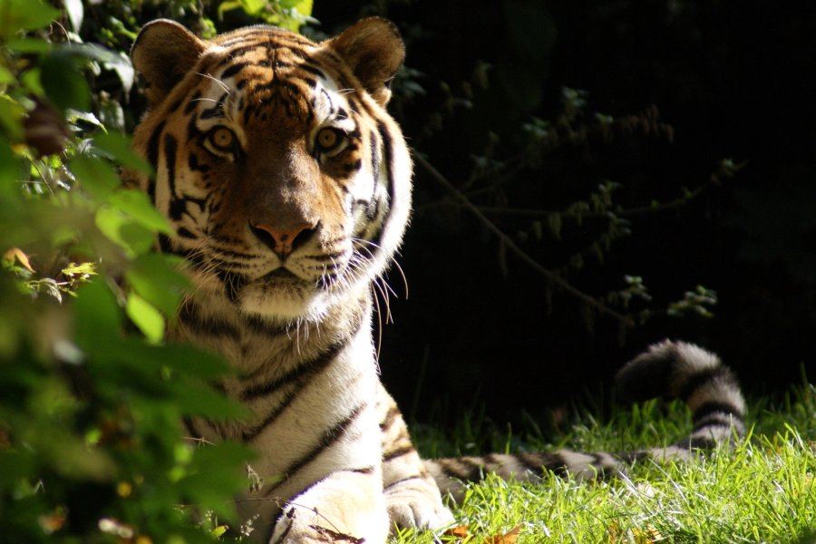 19-jähriger Tiger im Tierpark Chemnitz eingeschläfert