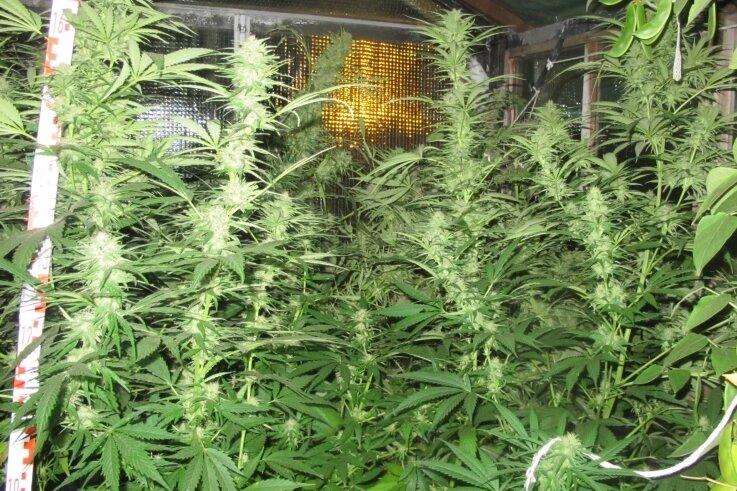 Cannabispflanzen (Symbolbild): Ab einem THC-Gehalt von 7,5 Gramm wird es problematisch.