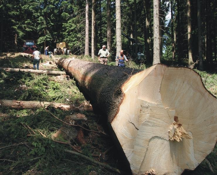 Als ein ungewöhnlich stattliches Exemplar entpuppte sich im Saydaer Forstrevier eine Fichte, der wegen eines Borkenkäferbefalls gefällt werden musste. An der Schnittstelle ist der Baum 1,20 Meter dick.