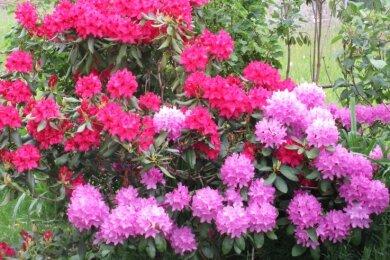 In verschiedenen Farben blüht der Rhododendron bei Dietmar Matthes in Friedebach.