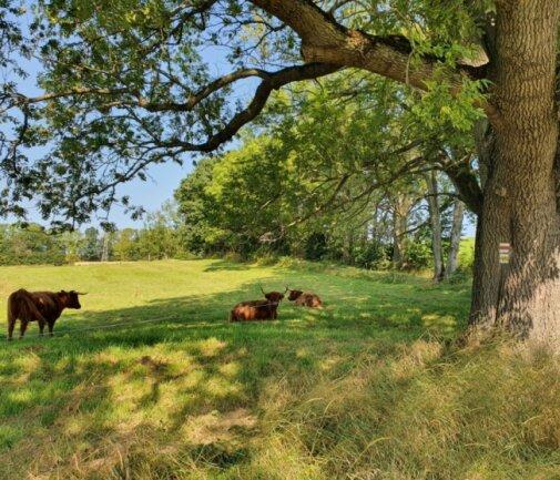 Am Rande von Mulda weiden schottische Hochlandrinder neben dem Wanderweg.
