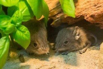 Unbekannte haben reichlich Münzgeld im Auer Zoo der Minis entwendet. Dort leben unter anderem Kurzohrrüsselspringer.