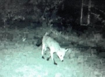 Mit der Wildkamera nachts festgehalten: Goldschakal oder Fuchs?
