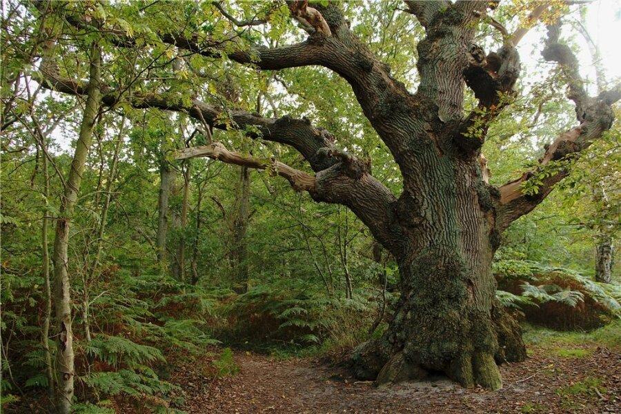 Alt wie ein Baum: Auf der Insel Vilm schafft das kaum eine andere Spezies.